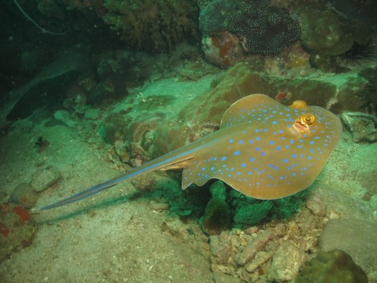 Blue-Spotted Sting Ray