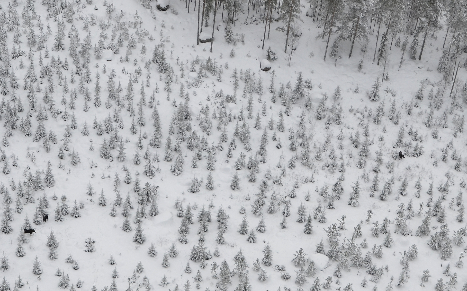 Äänekosken Koivistonkylällä hirvikarjaa 26.12.2017