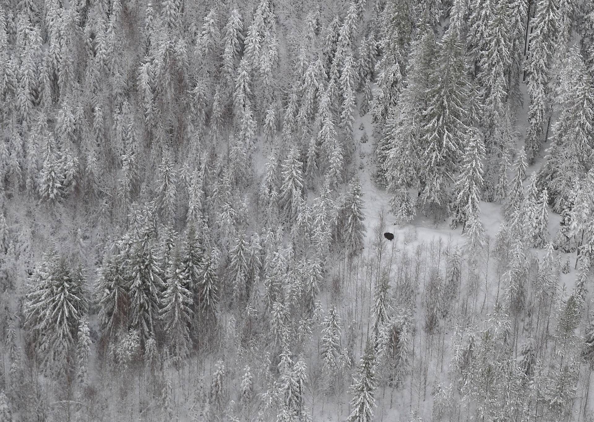 Siellä makoilee yksi ja metsän kätkössä on toinen.