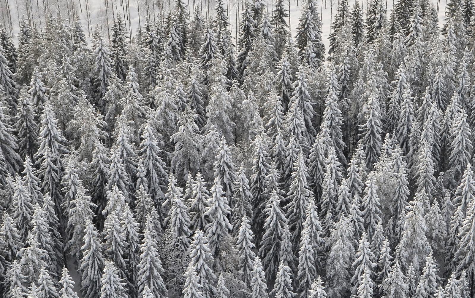 Nyt on metsä ihan talvisen näköinen.