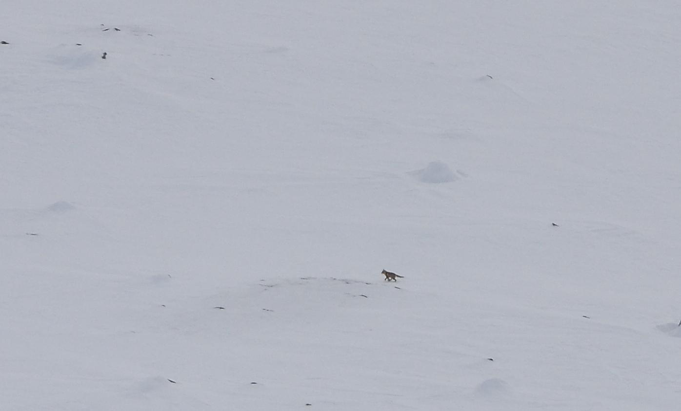 Tämä kulkija on susi tai kapinen kettu jonka häntä on harsuuntunut karvoista?
